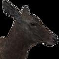 Rocky mountain elk female melanistic