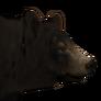 Black bear male common