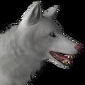 Grey wolf male albino