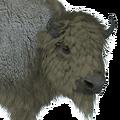 Bison male leucistic