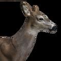 Whitetail deer female common