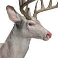 Whitetail deer male albino