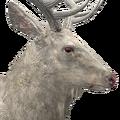 Rocky mountain elk male albino