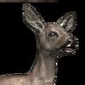 Roe deer female common