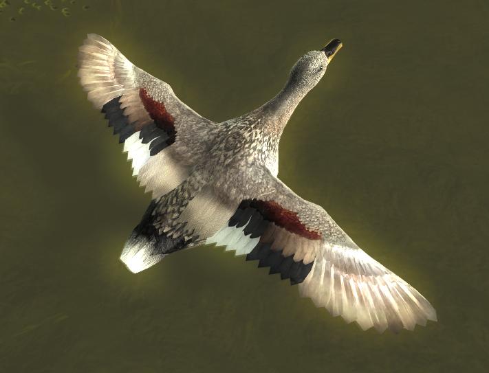 Duck gallery gadwall male