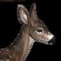 Blacktail deer female piebald