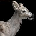Whitetail deer female piebald