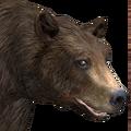 Black bear male chocolate v1