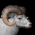 Bighorn sheep male albino