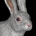 European rabbit male leucistic