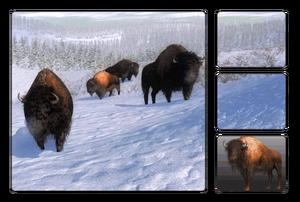 Species bison