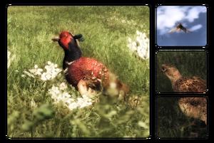 Species pheasant 700