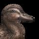 Mallard female common