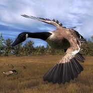 Canada goose air