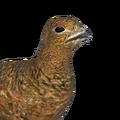 Rock ptarmigan female common