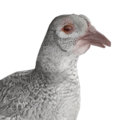 Pheasant female albino