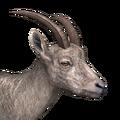 Alpine ibex female common
