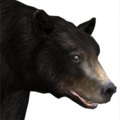 Black bear male common v1