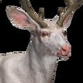 Mule deer male albino