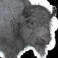 Bison male albino