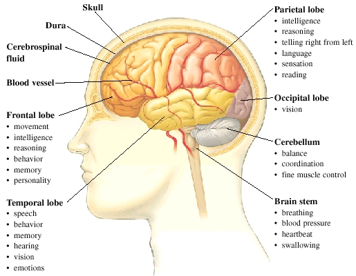 Image - Brain-functions and parts.jpg | The Slender Man Wiki ...