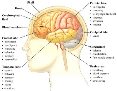 Brain-functions and parts