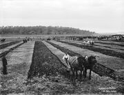 Ploughing match from The Powerhouse Museum Collection
