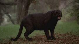 Werepanther 4