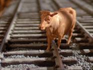 Cows31