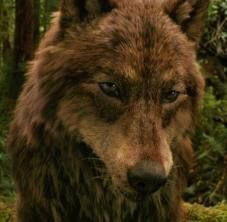 File:Jacob Black Wolf Form.jpeg