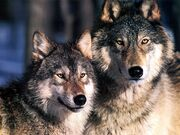 Cute,adorable wolfs
