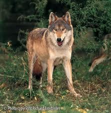 File:Wolf-girl ember.jpg