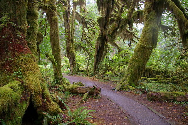 File:Forks WA Hoh National Forest Trail.JPG