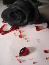 File:Bloody rose.jpg