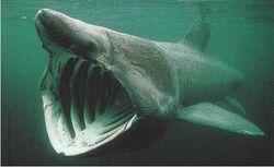 Basking-shark1