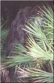 Skunk ape new