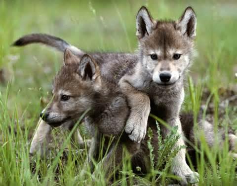 File:Baby Wolves(b).jpg