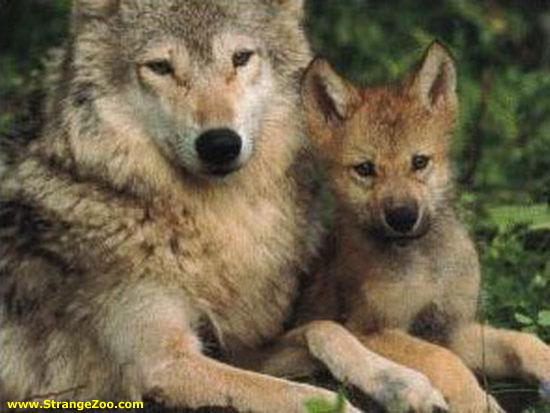 File:Baby Wolves - Mom and Pup.jpg