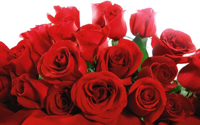 File:Red roses in flower-0.jpg