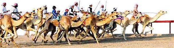 Camelracing