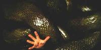 Borneo Anacondas