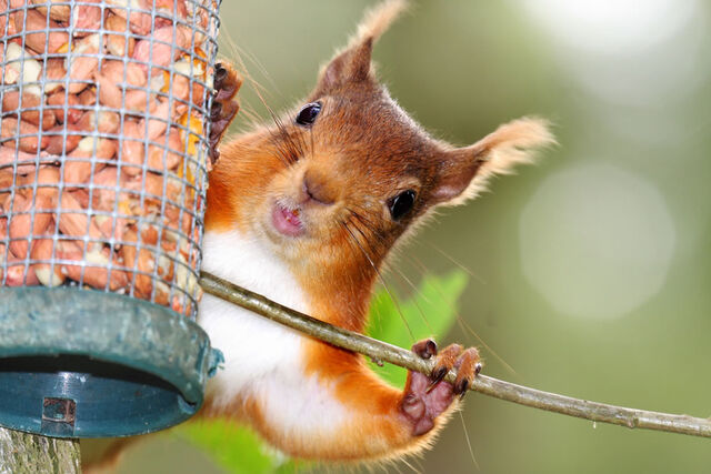 File:Happy-red-squirrel-playing-peek-a-boo.jpg