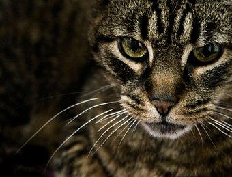 File:174151-stock-photo-cat-animal-black-dark-brown-observe.jpg