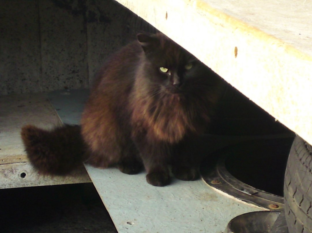 Dark Brown Fluffy Cats