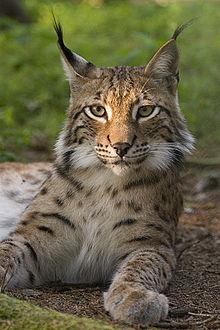 Lynxgaze