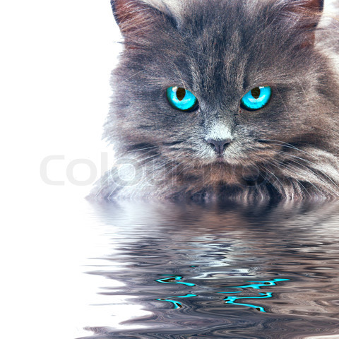 File:4467277-650709-gray-cat-with-blue-eyes-reflecting-in-wster.jpg