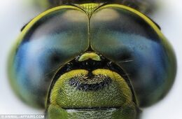 Dragonflyeyes