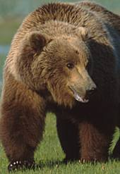 File:Brown-bear-don-getty.jpg