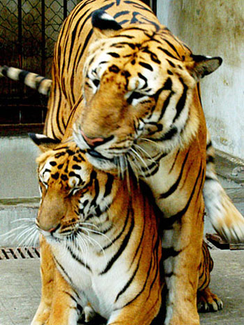 File:Tigermating.jpg