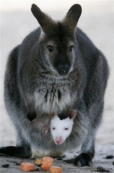 File:WallabyBabyAlbino.jpg